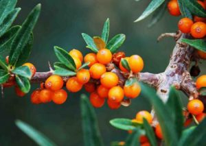 Sea Buckthorn Seed Oil CAS: 225234-03-7