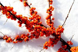 Sea Buckthorn Pulp Oil CAS: 135669-41-9